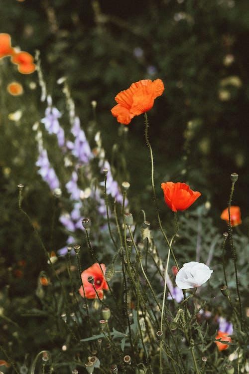 Δωρεάν στοκ φωτογραφιών με εργοστάσιο, λουλούδια, παπαρούνα, πέταλα