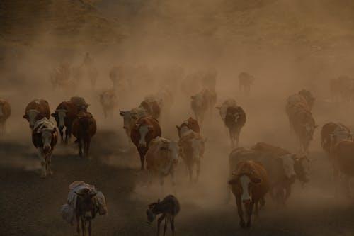 一群動物, 人, 奶牛, 家畜 的 免费素材照片