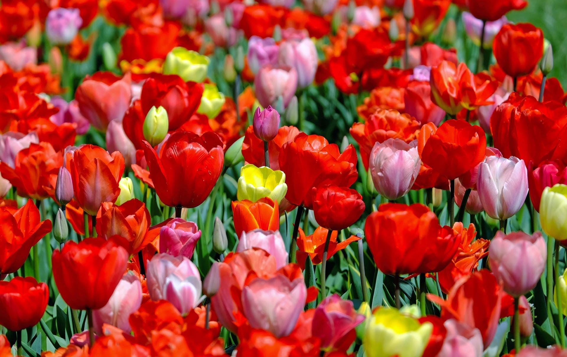 Red and Pink Tulip Lot