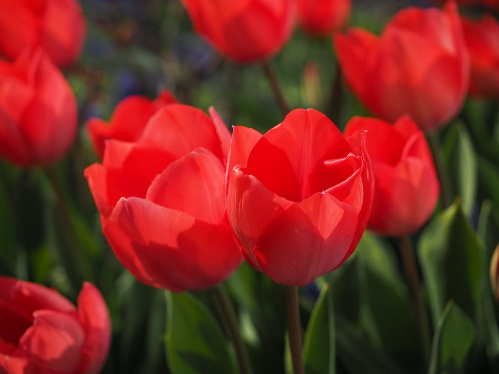 czerwony, flora, jasny
