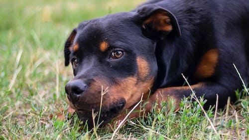 狗, 羅威 的 免費圖庫相片