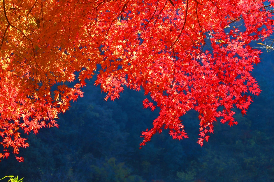 autumn, autumnal leaves, japan