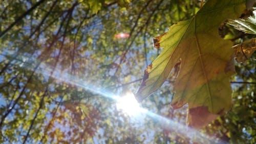 Бесплатное стоковое фото с большое дерево, большой лист, дерево, красота в природе