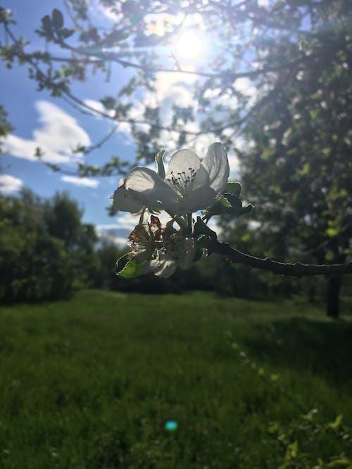Бесплатное стоковое фото с apple, белый, белый цветок, весенние цветы