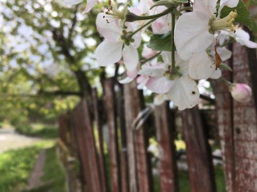 Бесплатное стоковое фото с белый цветок, дерево, дерево цветок, дерево цветок