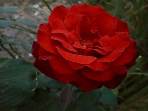 Бесплатное стоковое фото с красивый цветок, Красная роза, красный, красный цветок