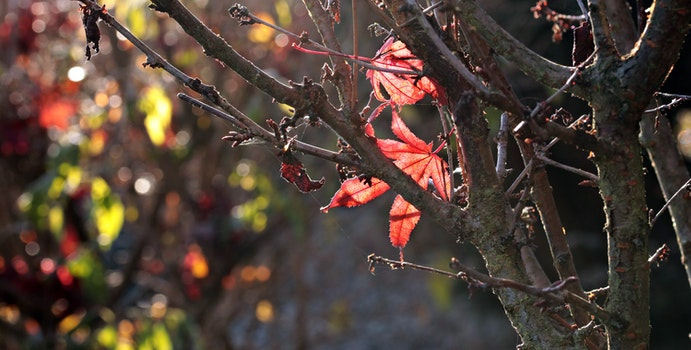 Free stock photo of leaves, autumn, colorful, red leaves