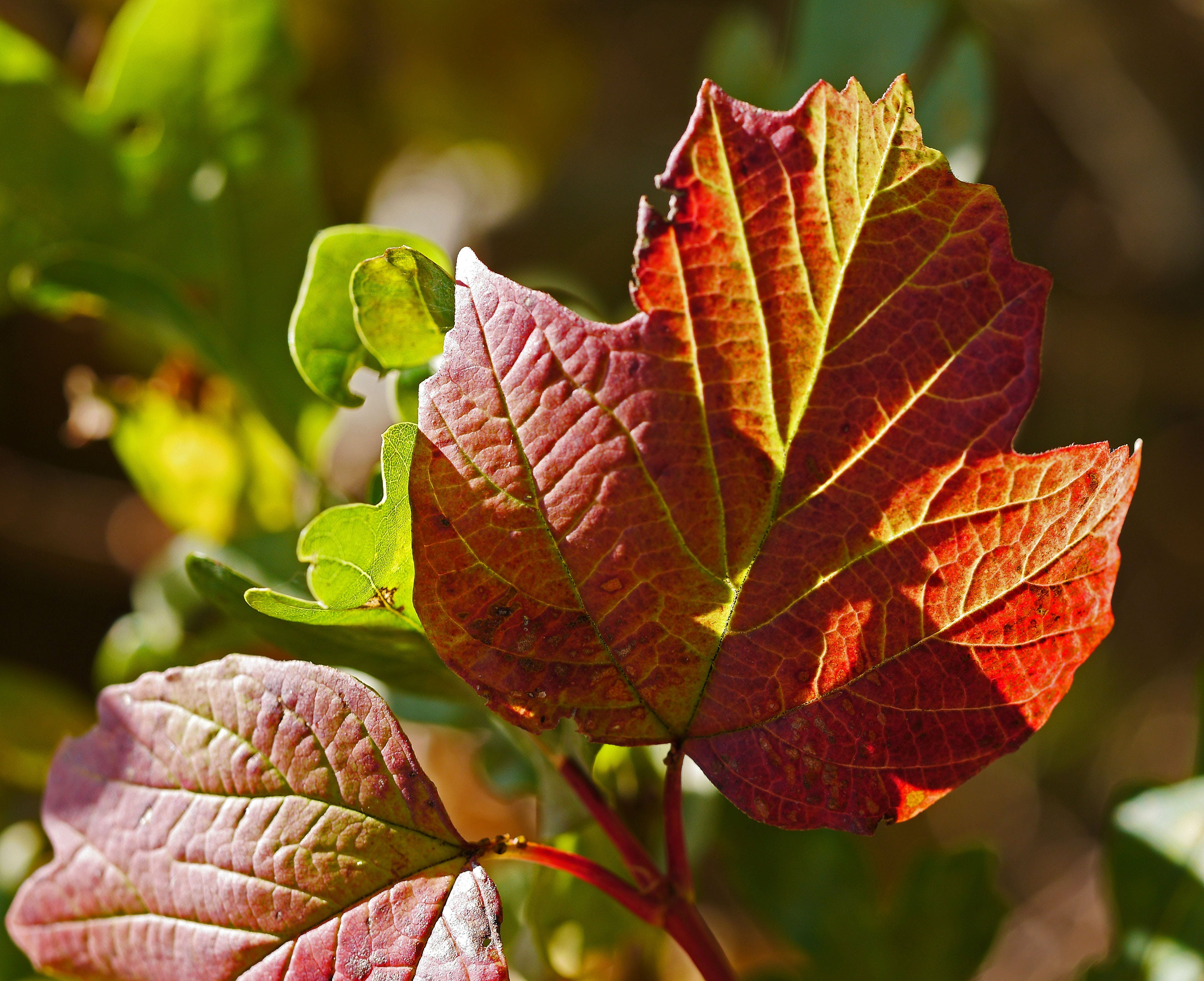 Free stock photo of red, sun, leaves, autumn