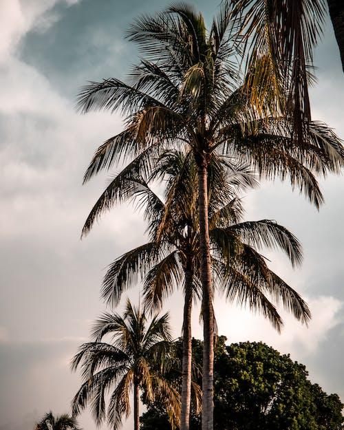 Gratis arkivbilde med florida, palmer, palmtree, tropisk
