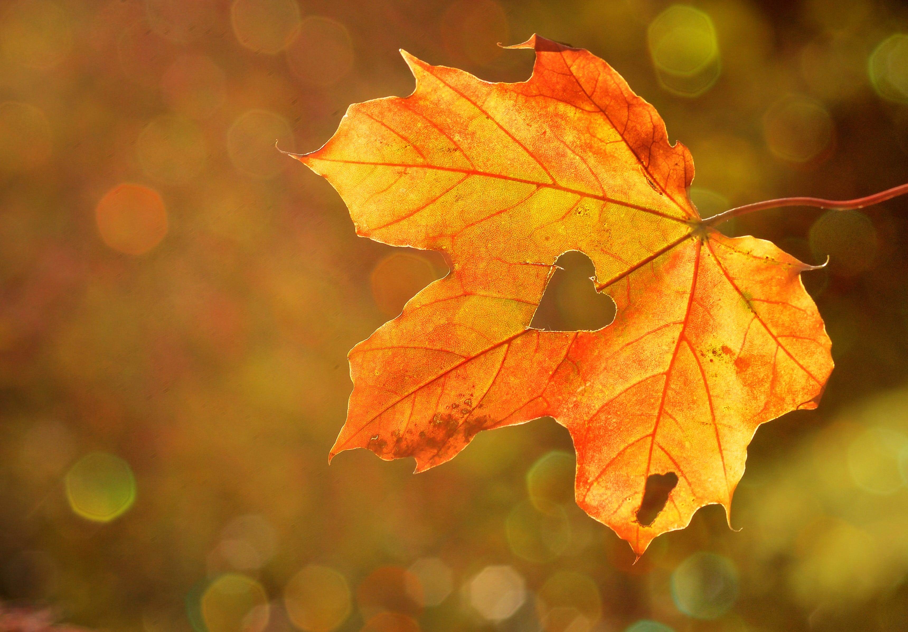 Free stock photo of nature, heart, leaf, autumn