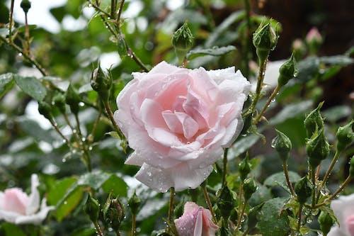 Kostnadsfri bild av blommor, blomning, botanisk, daggdroppar