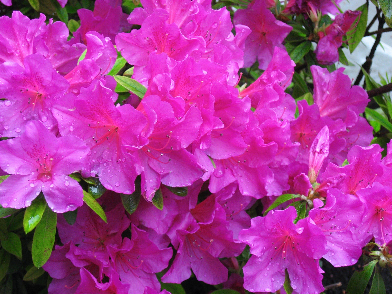 Free stock photo of azalea, drop of water, flowers, green