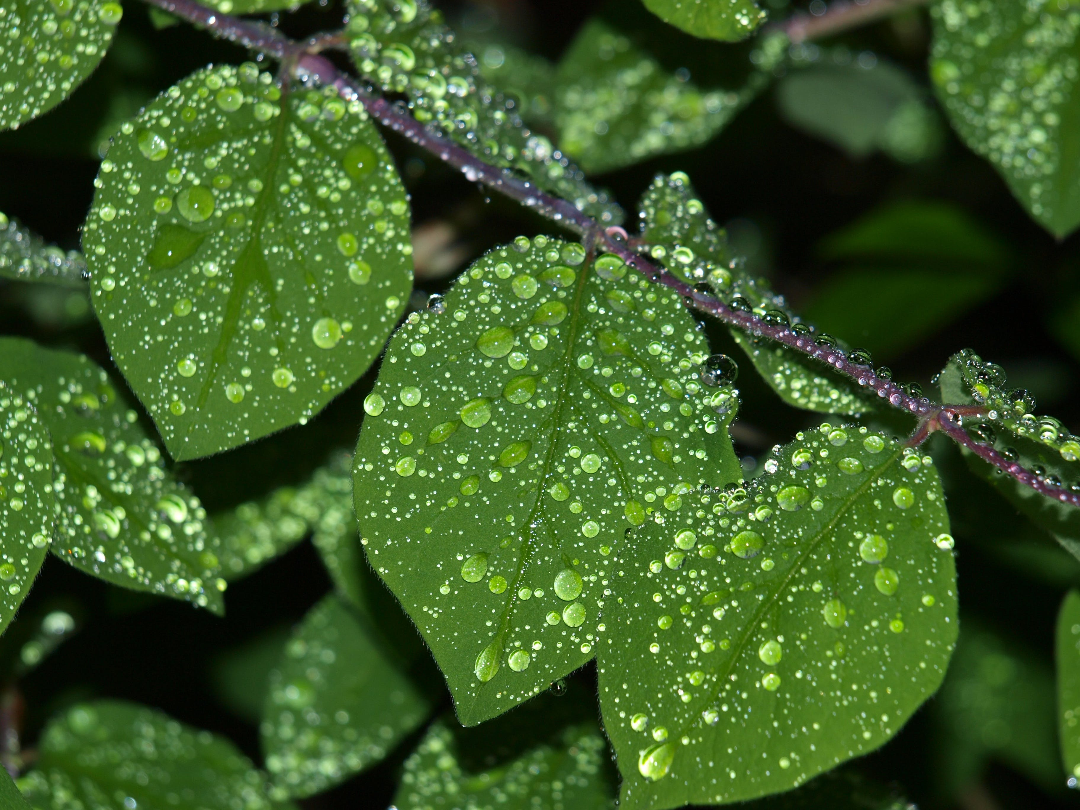 Free stock photo of drop of water, leaf, rain