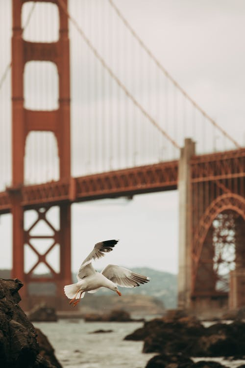 Flying Bird Near Golden Gate Bridge