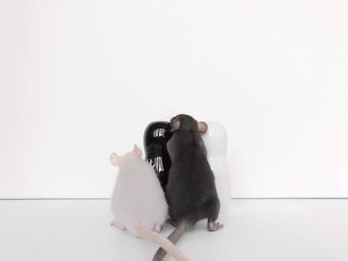 可愛, 囓齒動物, 甜椒, 白老鼠 的 免费素材照片