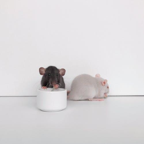 可愛, 囓齒動物, 白老鼠, 黑老鼠 的 免费素材照片