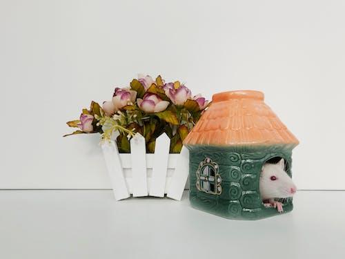 可愛, 囓齒動物, 家, 寵物 的 免费素材照片