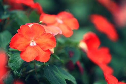 Ảnh lưu trữ miễn phí về cái lá, hoa, màu đỏ, vườn