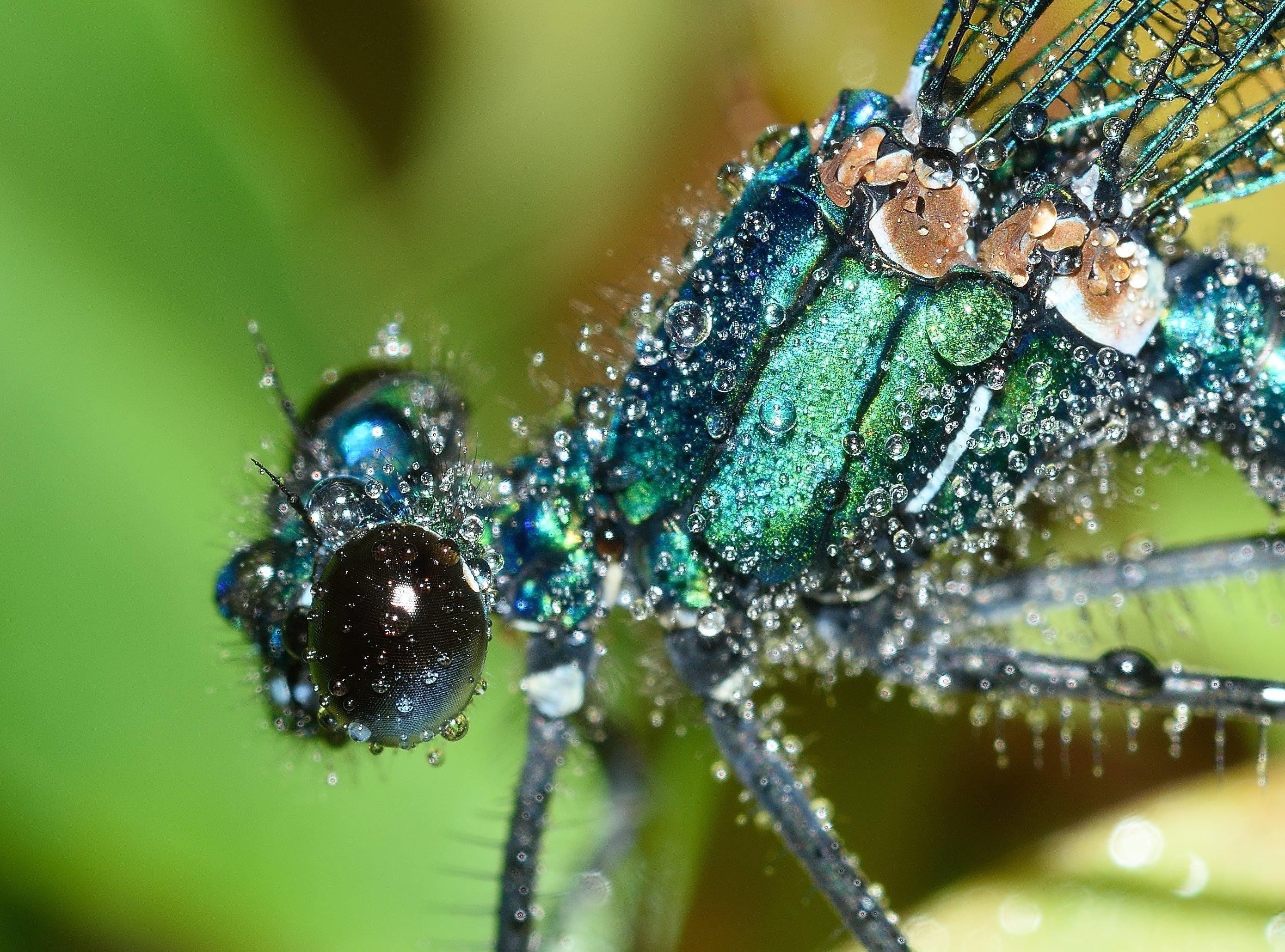 Kostenloses Stock Foto zu calopteryx, insekt, klein, libelle