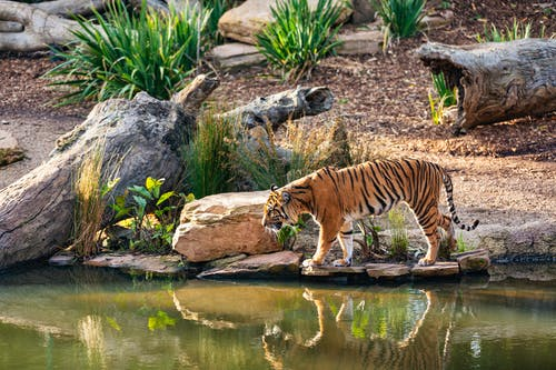 Tiger's Reflection on Water