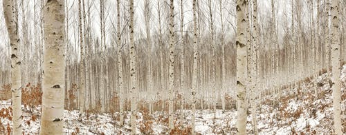 Fotos de stock gratuitas de abedul, arboles, baúl, bosque