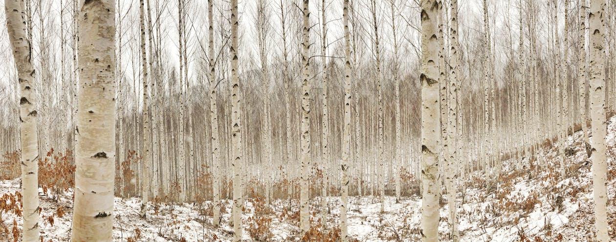 Birch Tree Photography