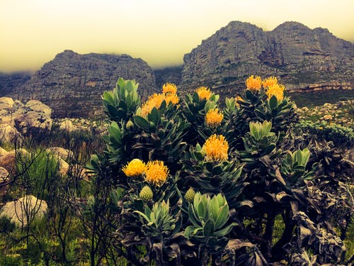 Ingyenes stockfotó #capetown #southafrica #, #mountain #tablemountain #flowers témában