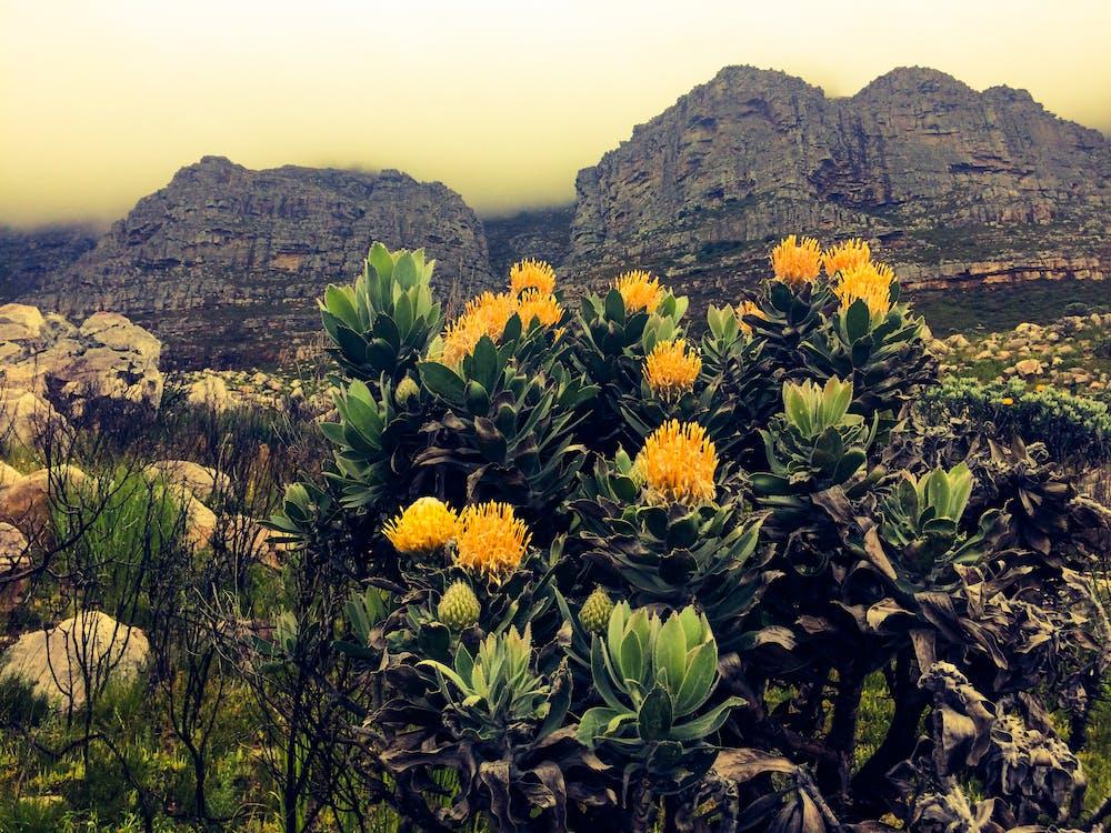 #capetown #southafrica #, #mountain #tablemountain #flowers