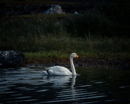 คลังภาพถ่ายฟรี ของ กลางแจ้ง, การถ่ายภาพสัตว์, ทะเลสาป, นก