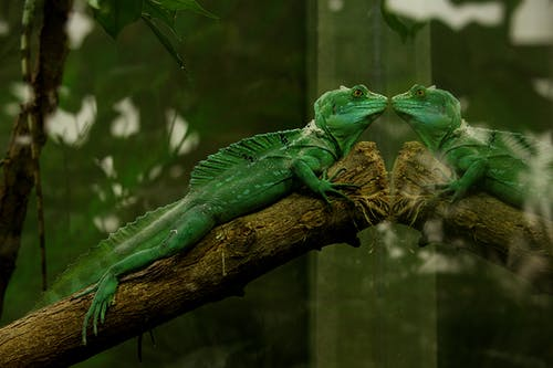 Green Gecko With Reflection