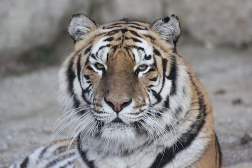 Fotobanka sbezplatnými fotkami na tému divá mačka, divočina, predátor, voľná príroda