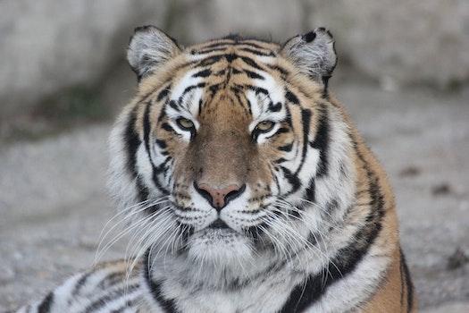 Free stock photo of animal, tiger, predator, wildlife