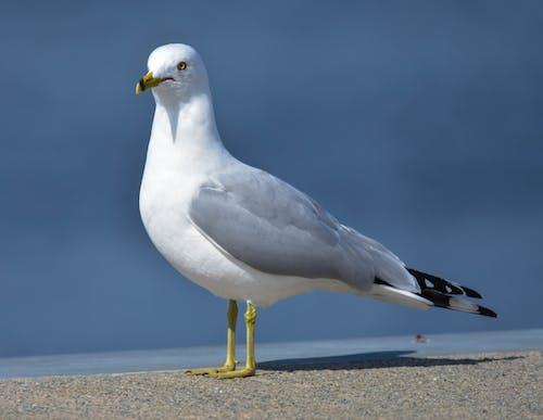 Foto stok gratis burung, camar laut, latar belakang biru kabur, ring billed gull