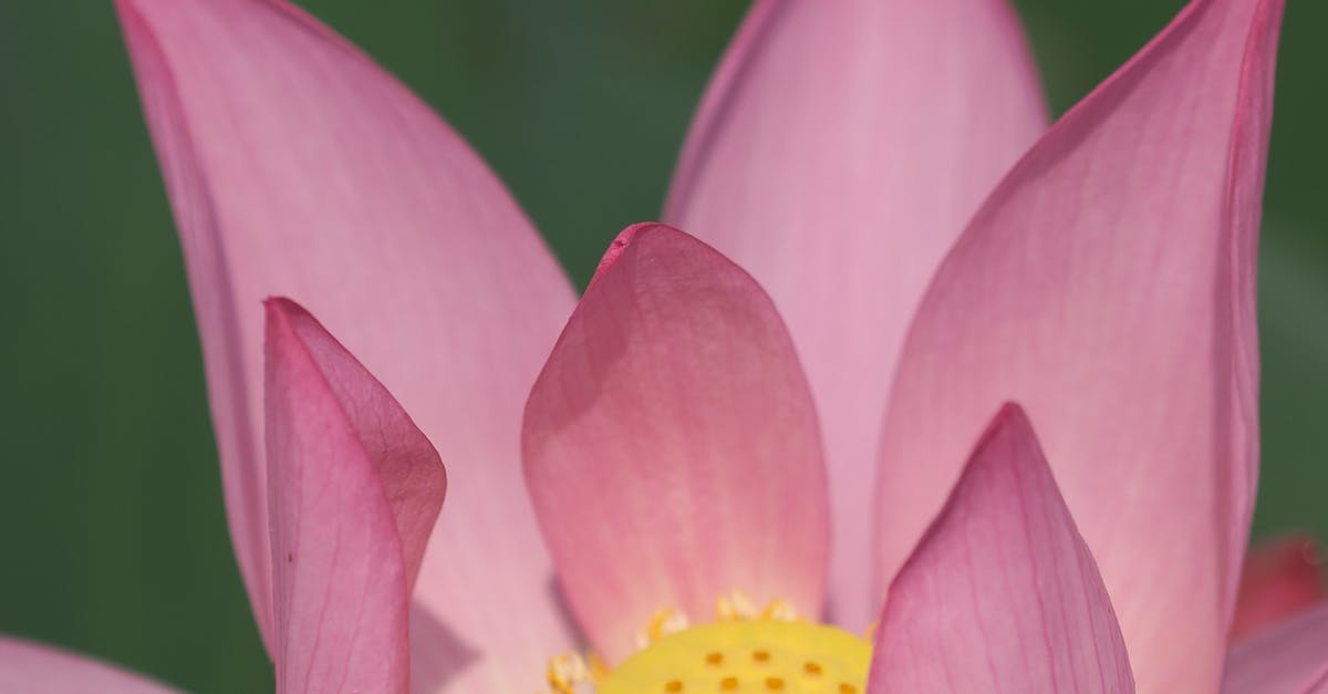 lotus flowers for sale - HD 3072×4608