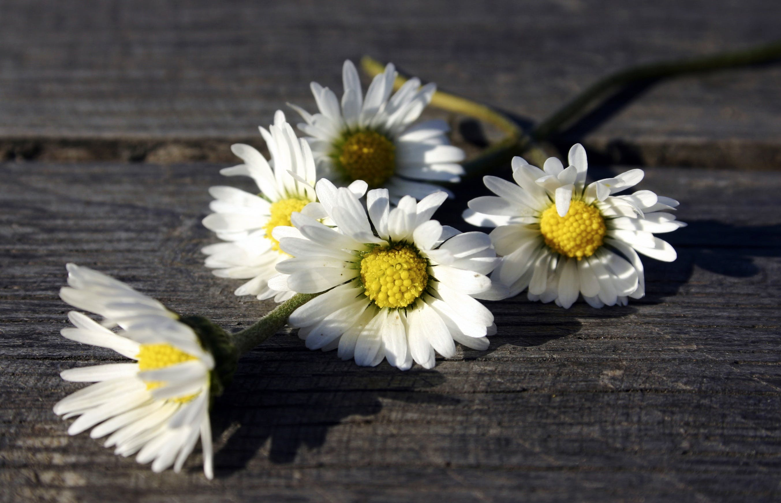 Free stock photo of wooden table, daisy, white flowers