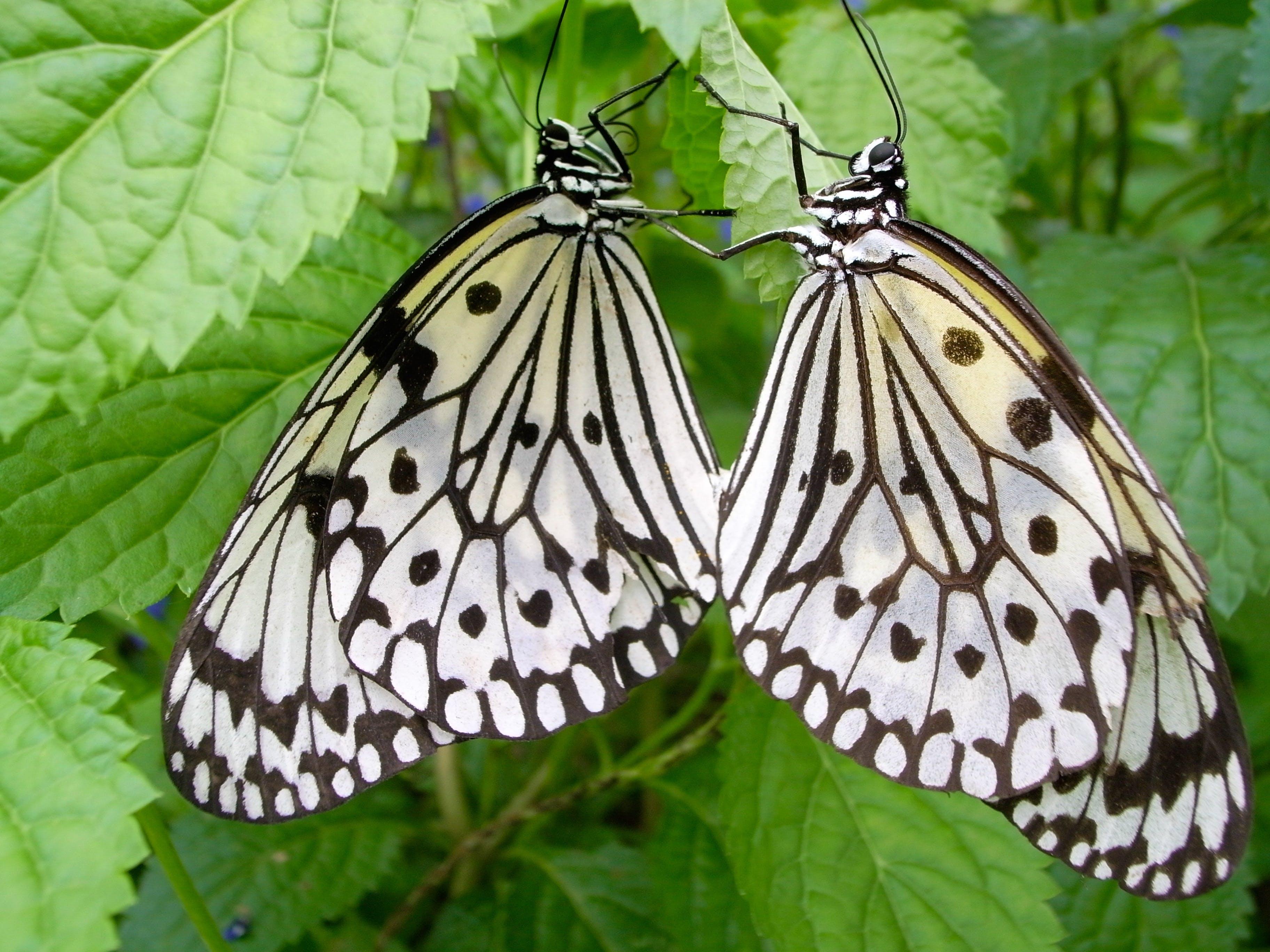 Free stock photo of butterfly, bug, idea leuconoe