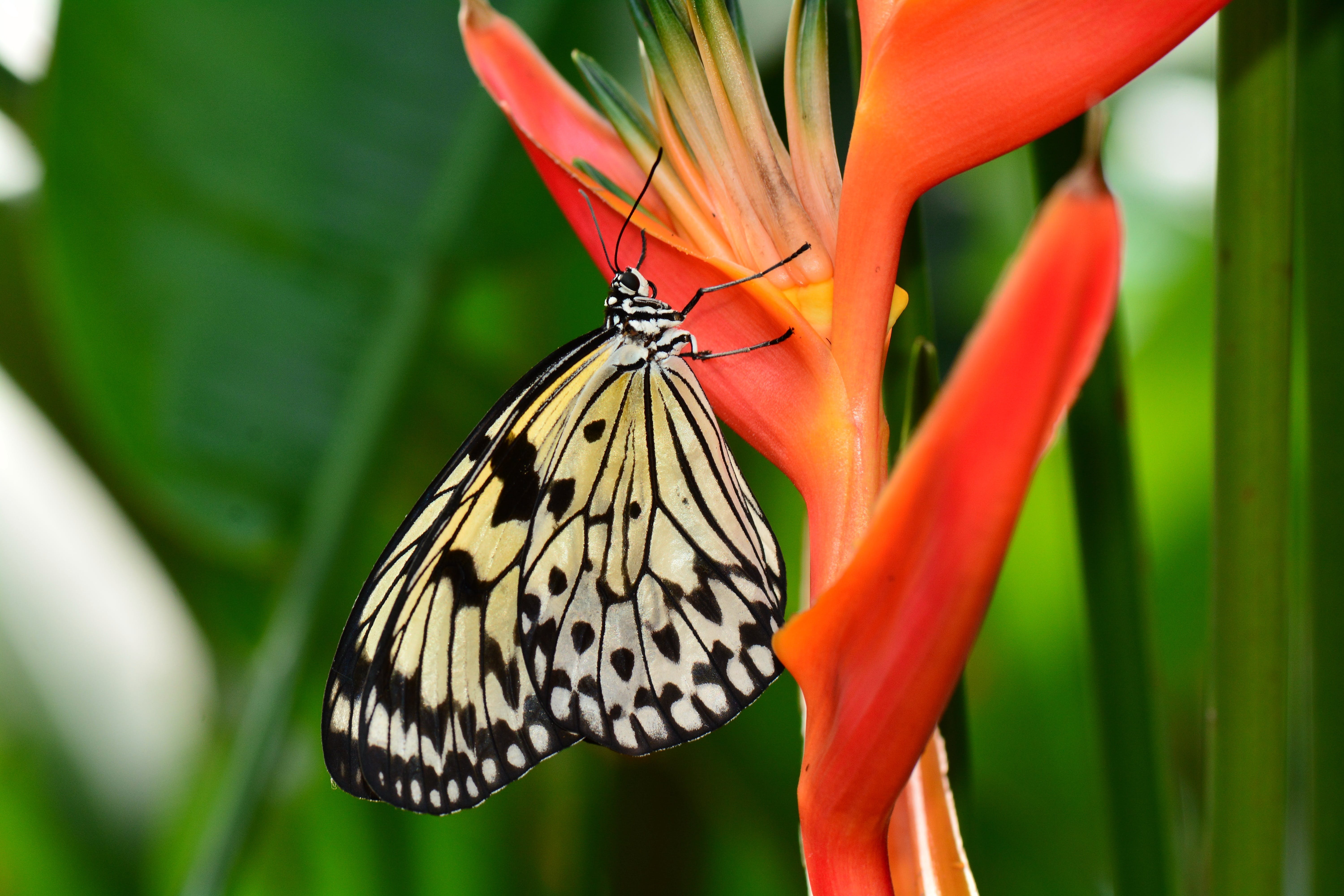 Free stock photo of bird of paradise, black-and-white, butterfly, ecology