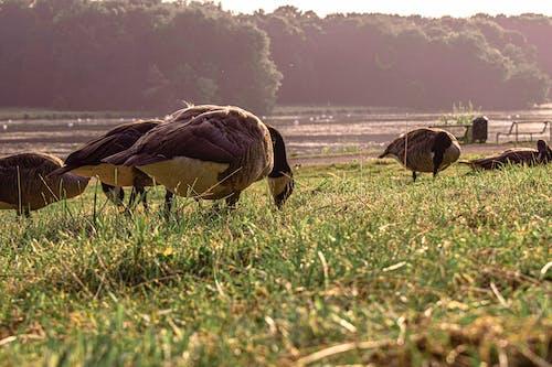 Free stock photo of bird, duck, ducks, evening sun