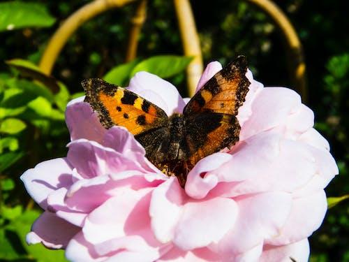 夏天, 漂亮, 玫瑰, 粉紅玫瑰 的 免費圖庫相片