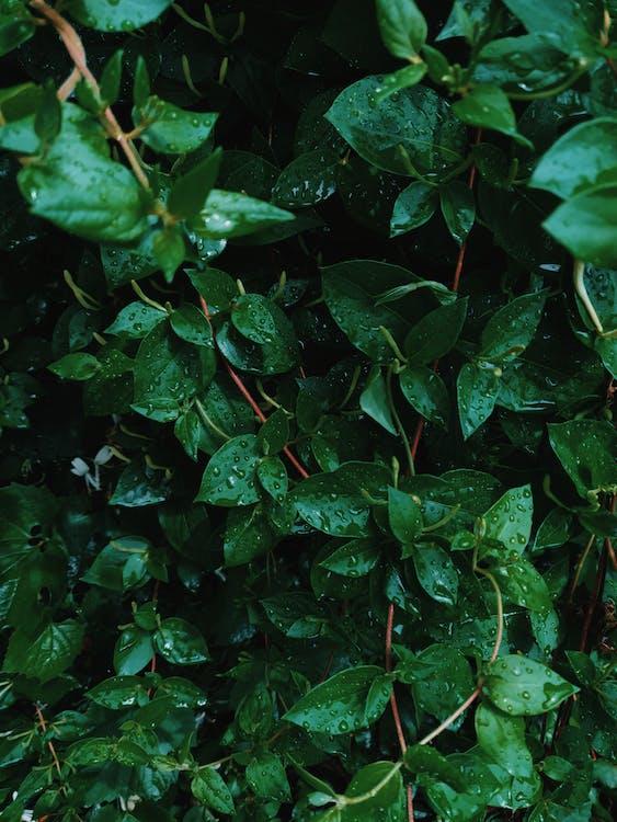 feuilles, feuilles vertes, gouttes de pluie