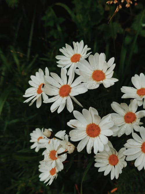 Close-Up Photo of White Daisies