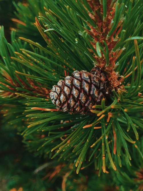 Close-up Photography of Brown Pine Cone