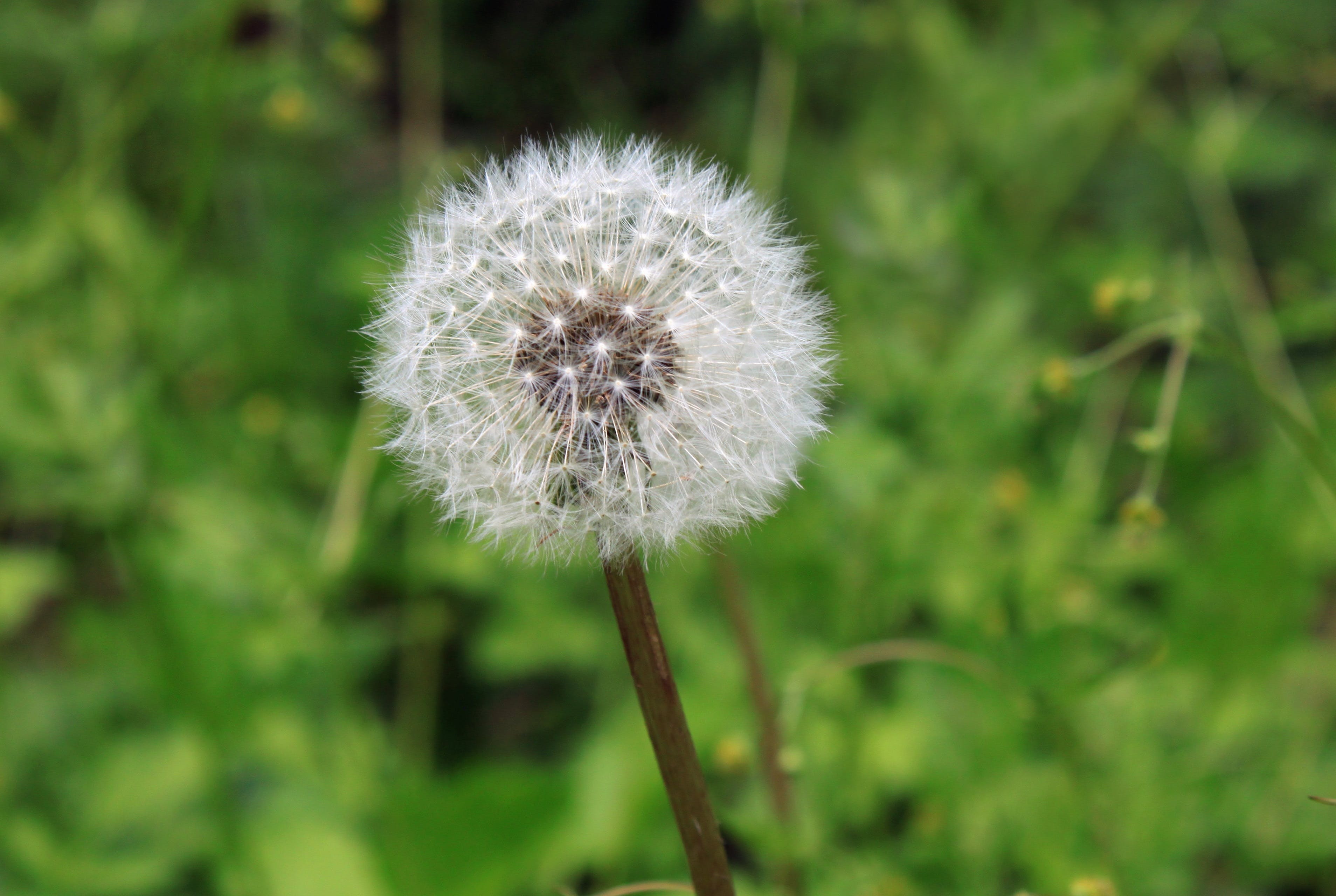Blooming White Dandelion