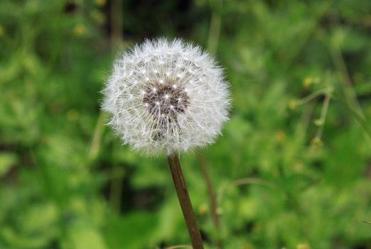 Free stock photo of plant, flower, macro, dandelion