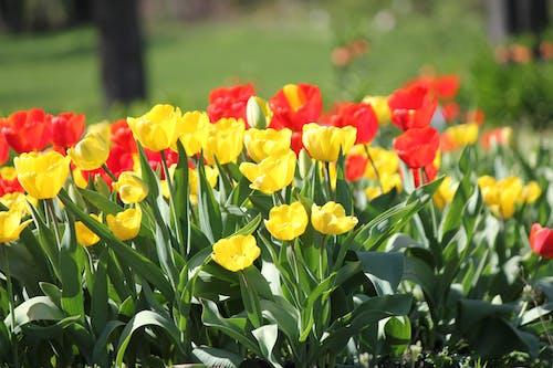 Δωρεάν στοκ φωτογραφιών με κίτρινες τουλίπες, κόκκινες τουλίπες, τουλίπες