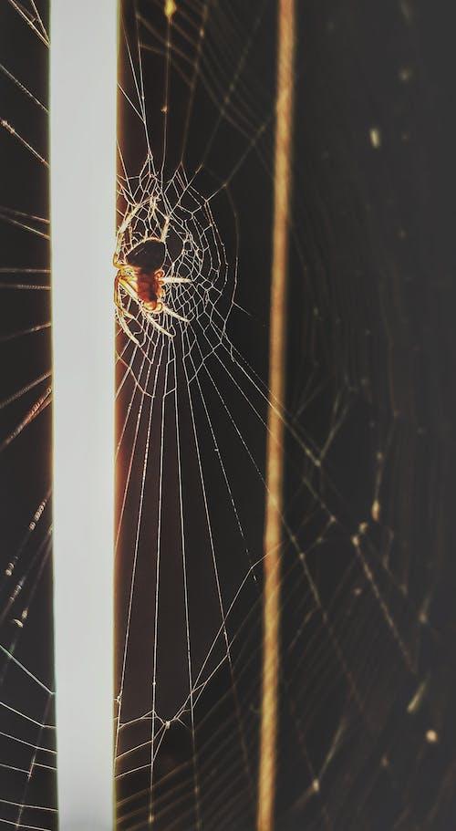 Foto stok gratis jaring laba-laba, laba-laba