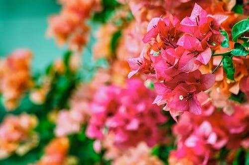 bitki örtüsü, bougainvilleas, canlı, çiçeklenmek içeren Ücretsiz stok fotoğraf