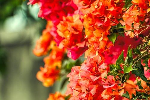 Ingyenes stockfotó bougainvilleas, gyönyörű virágok, közelkép, növényvilág témában