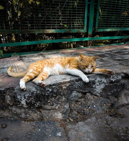 Immagine gratuita di annoiato, baffi, dormire, felino