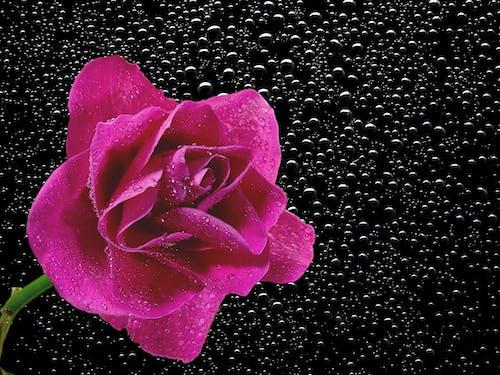 Gratis lagerfoto af blomst, dug, flora, HD-baggrund